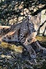 Mystery Of The Lynx